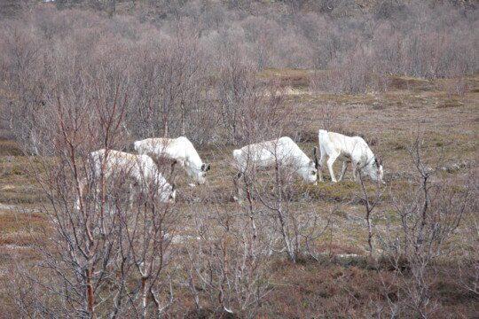 Vier weisse Rentiere umgeben von kahlen Büschen
